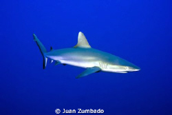 Grey Reef Shark. Nikon D700 in Aquatica Housing, SB900 in... by Juan Zumbado 